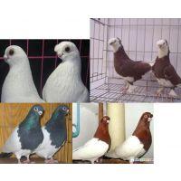 五家渠特种养殖观赏鸽元宝鸽