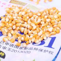 新型优质高产早熟玉米种子品种 伊单31 长期批发供应 6000粒