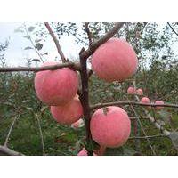2017红富士苹果行情,冷库红富士苹果价格行情,陕西膜带红富士苹果价格行情。