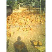 供应福建黄阉鸡、福建龙岩广西黄阉鸡批发、三黄鸡阉鸡批发土鸡