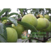 青脆李子树苗种植技术 李子树几年结果 李苗研发基地批发