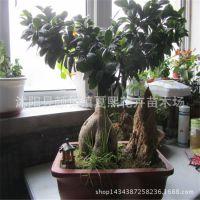 基地直销榕树盆栽 迷你植物 桌面小盆景 办公室观叶植物 净化空气