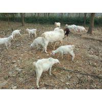 舌尖上的中国【越活草本】上海散养羊肉批发羊排批发价格