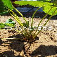 基地直销草莓苗 四季草莓苗 根系发达 四季结果