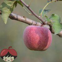 供应云南昭通苹果丑苹果红富士苹果无农药无污染