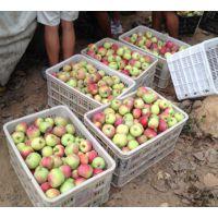 山东早熟藤牧苹果批发基地 果经60-75 脆青 酸甜可口