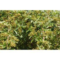 花椒苗都有什么品种 大红袍花椒苗产量怎么样