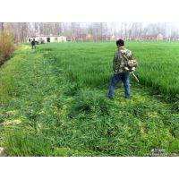 徐水县养羊种植什么牧草种子哪里有卖的