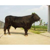 进口谷饲冷冻牛肉澳大利亚史密斯牧场-安格斯