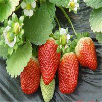 优质全明星草莓苗|眉山全明星草莓苗|红丰园艺场(在线咨询)