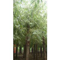 保定速生柳批发价格 一级树 绿化苗木树苗供应