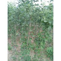 河北银杏树苗价格,1.5米高银杏多少钱一棵