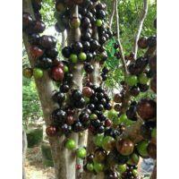 供应那里有嘉宝果苗卖 广西树葡萄苗 木葡萄苗 葡萄木苗 树上结的葡萄