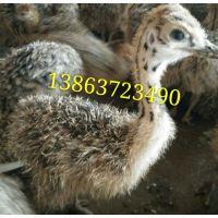 小鸵鸟价格 优质小鸵鸟 嘉祥县六合养殖场批发