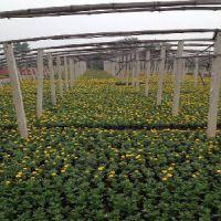 山东金盏菊、一串红、万寿菊、孔雀草、鼠尾草、矮牵牛种植批发基地