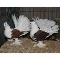 供应种鸽 种鸽多少钱一对 种鸽的挑选 种鸽的配对 种鸽图片 种鸽养殖