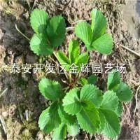 红颜草莓苗成活率高脱毒草莓苗经济效益好大棚草莓苗