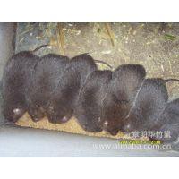 湖南明华特种养殖供应野兔,竹鼠。种苗,商品野兔。商品竹鼠。