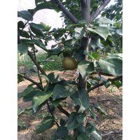 基地培育大量优质雪青梨苗 梨树苗价格品种齐全