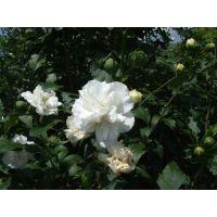 沭阳木槿花苗白花木槿苗药用食用木槿树观赏木槿树苗有机食材木槿花苗