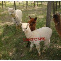 供应***萌宠物小羊驼、出售双峰骆驼-- 成年羊驼 羊驼价格包括羊驼回收