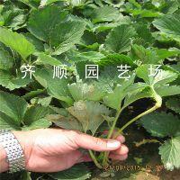 草莓苗高产品种 美十三草莓苗