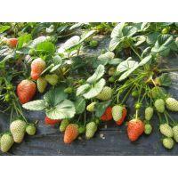 专业草莓苗培育合作社,品种全,易栽培,成活率高