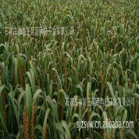 石家庄藁城绿色蔬菜|供应石家庄划算的红谷小米