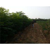 红油香椿苗哪里有?泰安润佳农业专业果树苗研发基地 品种纯 成活率高