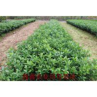 广西桂林哪里有无病虫害砂糖橘果树苗买