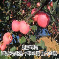烟富苹果苗 烟富3号 烟富6号 烟富8号 烟富0号 烟富10号苹果苗 矮化苹果苗产量高易成活
