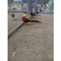 山东旺隆种鸽观赏鸽养殖基地供应红腹锦鸡种鸡种鸽观赏鸡观赏鸽哪里***齐全