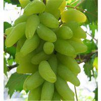 金手指葡萄苗价格 泰安润佳农业葡萄苗基地品种纯 价格优惠