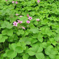 苗圃直销 供应红花醡浆草 红花醡浆草苗 基地种植 量大优惠 欢迎来电咨询