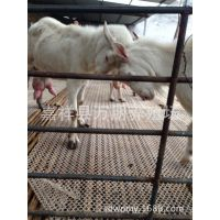 供应优质萨能奶山羊、波尔肉山羊、白山羊、奶山羊、肉山羊养殖场