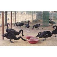 卖黑天鹅的市场哪里有黑天鹅价格