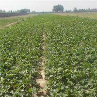 法兰地草莓苗价格_廊坊法兰地草莓苗_乾纳瑞农业科技在线咨询