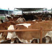 河北省肉牛养殖基地|河北省西门塔尔牛养殖基地