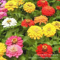 基地出售 迷你装花草种子 经典优质百日草种子 家庭专用装