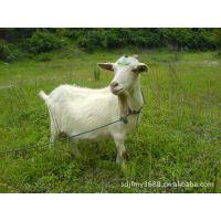 大量出售养殖基地出售白山羊   量大从优18366782082