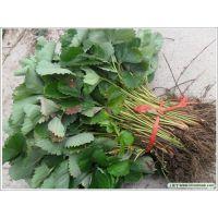大棚草莓苗新品种?泰安佳丽园艺专业草莓苗研发 品种纯 价格优惠
