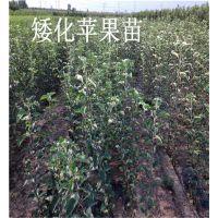 烟富八苹果苗价格、烟富八苹果苗、烟富0苹果苗价格