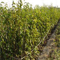 1米高玉美人梨树苗品种大全