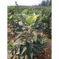 一年生矮化苹果苗 4公分苹果苗价格