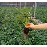 晨旭苗木园艺场(图)|法兰地草莓苗产量|法兰地草莓苗