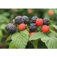 黑树莓苗价格 山东泰安黑树莓苗种植基地 红树莓苗的种植管理