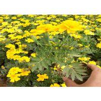 黄孔雀草种植基地丨黄孔雀草批发丨供应