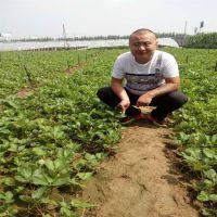 批发出售水果种苗 草莓苗价格低 根系发达高成活的草莓苗品种