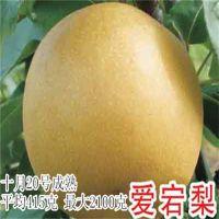 爱宕梨树苗 大果型热卖梨树苗新品种梨树苗行情发展