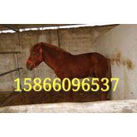 供应马 矮马 80-1米3矮马价格多少钱一匹